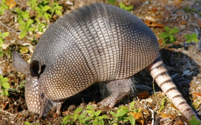 Number of Armadillo leprosy cases on the rise in Florida